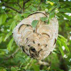 Dolichovespula_maculata_(bald-faced_hornet)_nest